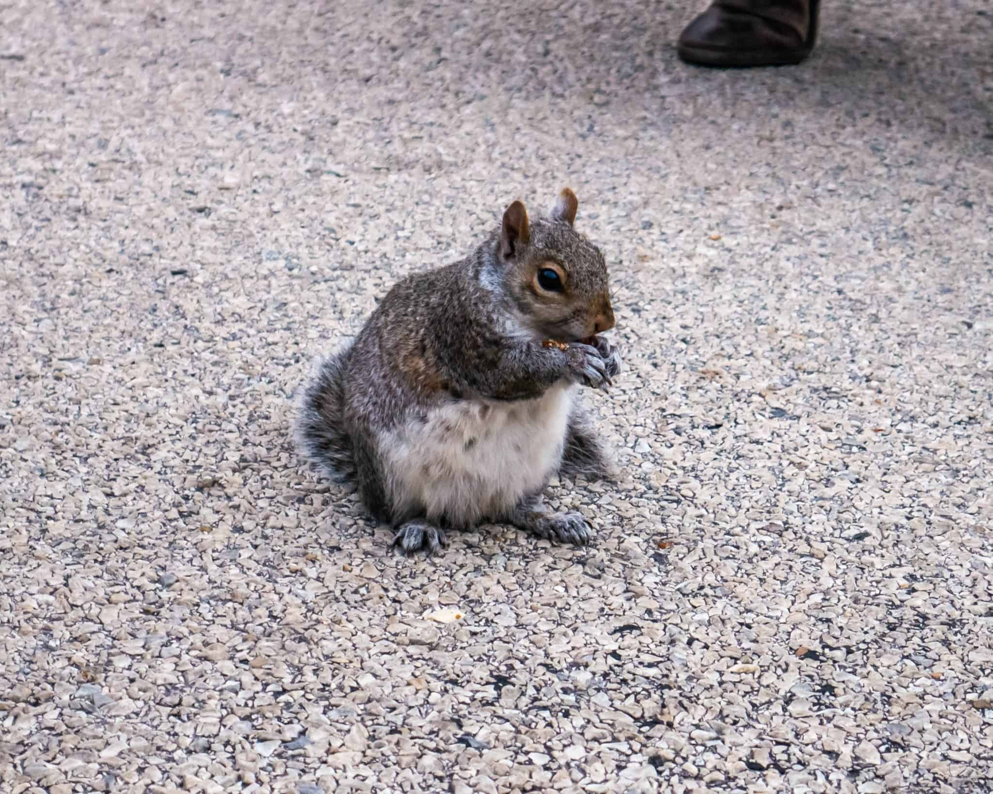 A Hungry Creature   Friendly NYC Squirrel